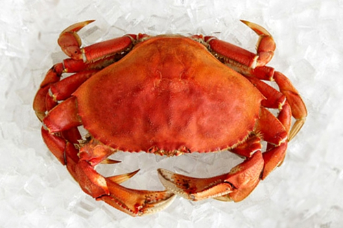 dungenous-crab